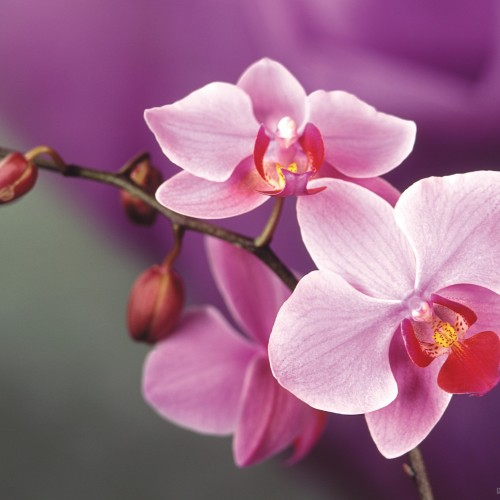 6912026-pink-orchid