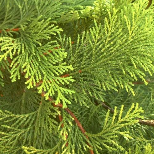 cedar-branch